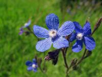 s:травянистые,c:синие или голубые,c:фиолетовые или лиловые,околоцветник актиноморфный,лепестков 5,i:редкие и охраняемые,i:декоративные